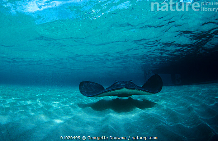 Southern stingray (Hypanus americanus) swimming in shallow water, Cayman Islands, Caribbean, BLUE,CARIBBEAN,CHONDRICHTHYES,FISH,MARINE,RAYS,shadows,SWIMMING,TROPICAL,UNDERWATER,VERTEBRATES,DASYATIS AMERICANA,,,, Georgette Douwma