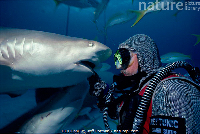 Shark handler wearing chain mail suit feeds Caribbean reef shark(Carcharhinus perezi) Bahamas Model released., CHONDRICHTHYES, DIVING, FEEDING, FISH, MARINE, PEOPLE, SHARKS, UNDERWATER, DRAMATIC, FACES, LEISURE, TROPICAL, VERTEBRATES, Jeff Rotman