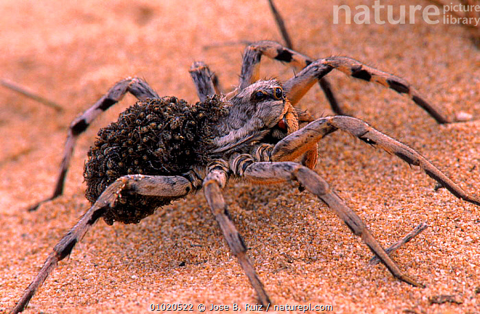 Female Wolf spider carries young on back, sand dunes, Spain, PORTRAITS,BABIES,FAMILIES,HORIZONTAL,ARACHNIDS,CARRYING,DUNES,FEMALE,RR,SPAIN,EUROPE,PARENTAL ,SAND DUNES,DESERTS,INVERTEBRATES, Jose B. Ruiz