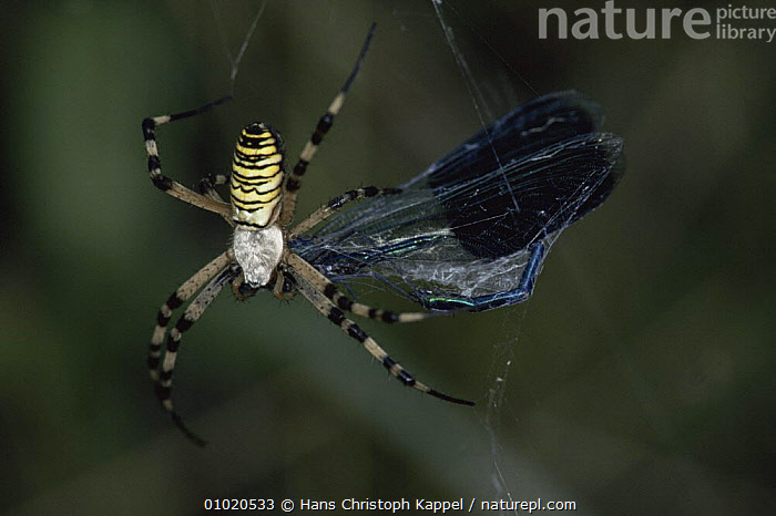 Orb web spider {Argiope bruennichi} feeding on banded demoiselle caught in web., ARACHNIDS,ARTHROPODS,DEATH,EUROPE,FEEDING,HOMES,HUNGARY,INSECTS,INVERTEBRATES,ORB WEAVER SPIDERS,PORTRAITS,PREDATION,SPIDERS,Behaviour, Hans Christoph Kappel
