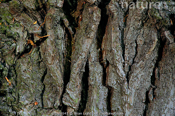 Close up of Oak tree bark. Scotland (Quercus robur), BARK,BL,CLOSE UPS,CRYPTIC,PATTERNS,PLANTS,TREES, Brian Lightfoot