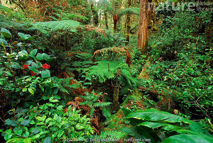 Mossy forest (Cloudforest) on Mt. Apo, Mindanao, Philippines., APO,ASIA,CLOUD FOREST,DIVERSITY,DWE,FOREST,GREEN,HORIZONTAL,MINDANAO,MOSSY,MT,PLANTS,SOUTH EAST ASIA,TROPICAL RAINFOREST,SOUTH-EAST-ASIA, Doug Wechsler