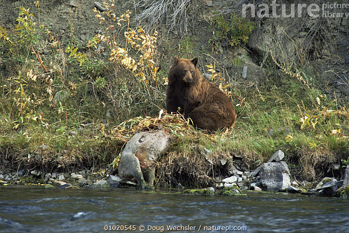Black bear (brown phase) (Ursus americanus) at deer carcass, Yellowstone NP, Wyoming, USA, BEARS,Carcass,CARNIVORES,DEATH,DEER,eating,FEEDING,MAMMALS,north america,NP,RESERVE,RIVERS,SCAVENGING,USA,VERTEBRATES,WATER,National Park, Doug Wechsler
