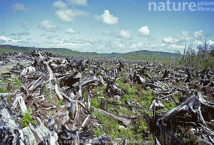 Burnt clearcut of Red cedar and Sitka spruce, Quinault reservation, Washington,  USA, 1984, DEFORESTATION,NORTH AMERICA,RED,USA, Doug Wechsler
