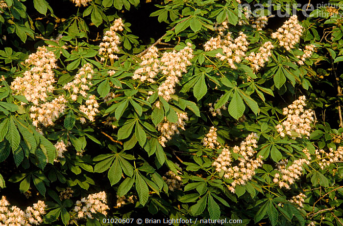 Horse chestnut tree in flower (Aesculus hippocastanum) Scotland, FLOWERS,BL,FLOWER,EUROPE,LEAVES,UK,HORIZONTAL,TREES,SCOTLAND,UNITED KINGDOM,PLANTS,BRITISH,EQUINES, Brian Lightfoot
