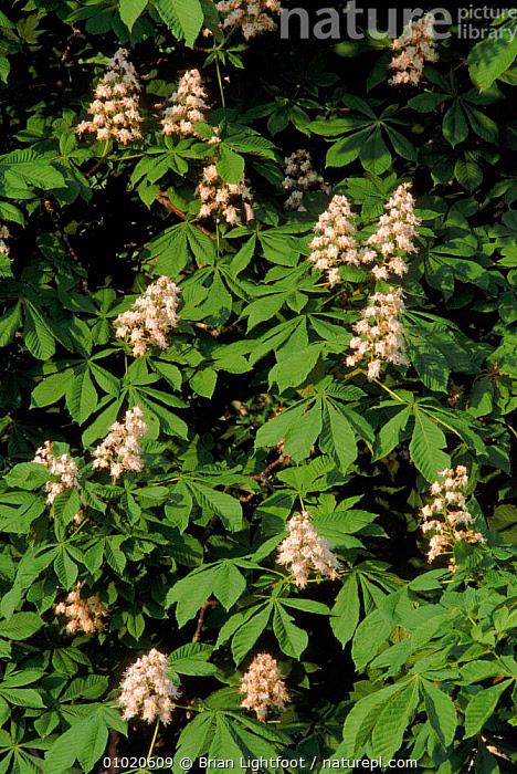 Horse chestnut tree flowers (Aesculus hippocastanum) Scotland, BL,BRITISH,EQUINES,EUROPE,FLOWER,FLOWERS,LEAVES,PLANTS,SCOTLAND,TREES,UK,UNITED KINGDOM,VERTICAL, Brian Lightfoot