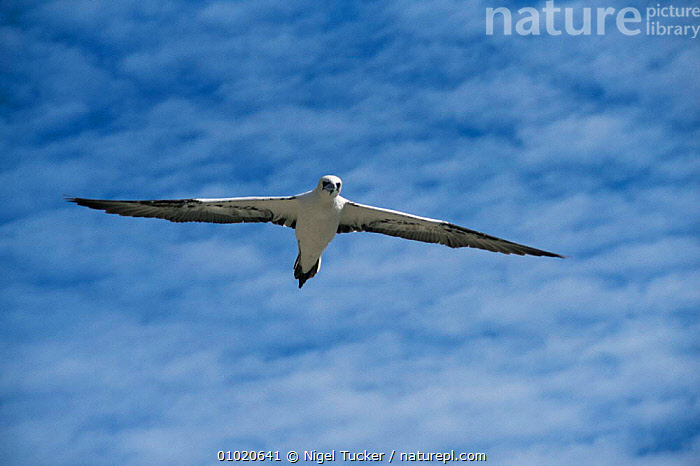 Gannet in flight (Morus bassanus) Scotland Bass Rock, BASS, BIRDS, COASTS, EUROPE, FLYING, GANNETS, SCOTLAND, SEABIRDS, SKY, UK, VERTEBRATES, WINGS,United Kingdom, Nigel Tucker