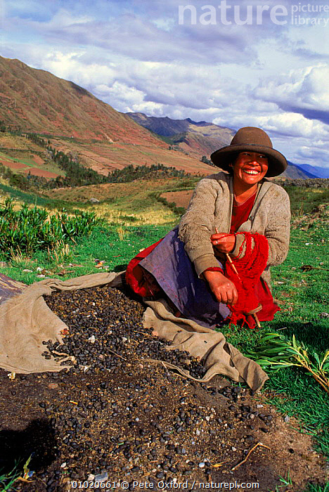 Local Indian woman collecting Llama dung for fuel, Cusco, Peru South America., AMERICA,CONCEPTS,CULTURES,CUSCO,DUNG,FAECES,FUEL,HOLIDAYS,INDIAN,INTERESTING,LLAMA,PEOPLE,PO,SOUTH,TRADITIONAL,TRIBES,VERTICAL,WOMAN,SOUTH-AMERICA, Pete Oxford