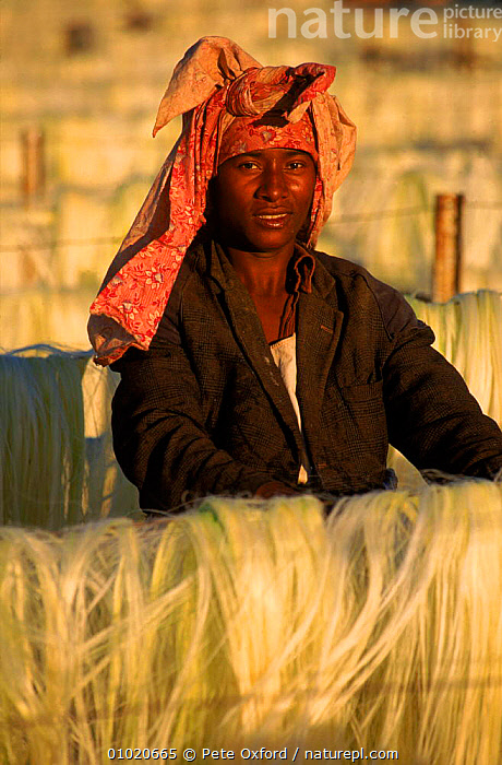 Woman drying sisal on racks, Madagascar, Berenty Reserve., BERENTY,COLOURFUL,CROPS,HARVESTING,PEOPLE,PLANTS,PO,PORTRAITS,SISAL,VERTICAL,WOMAN,MADAGASCAR, Pete Oxford