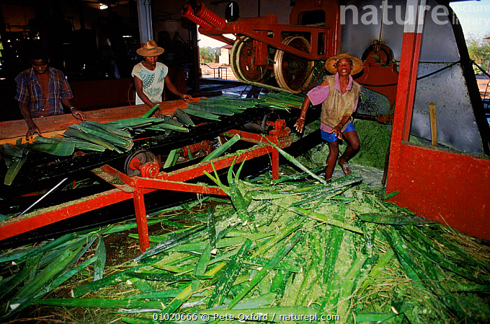 Sisal factory in Madagascar, Berenty Private Reserve., BERENTY,BUILDINGS,CROPS,FACTORY,HORIZONTAL,INDUSTRY,PEOPLE,PLANTS,PO,SISAL,MADAGASCAR, Pete Oxford