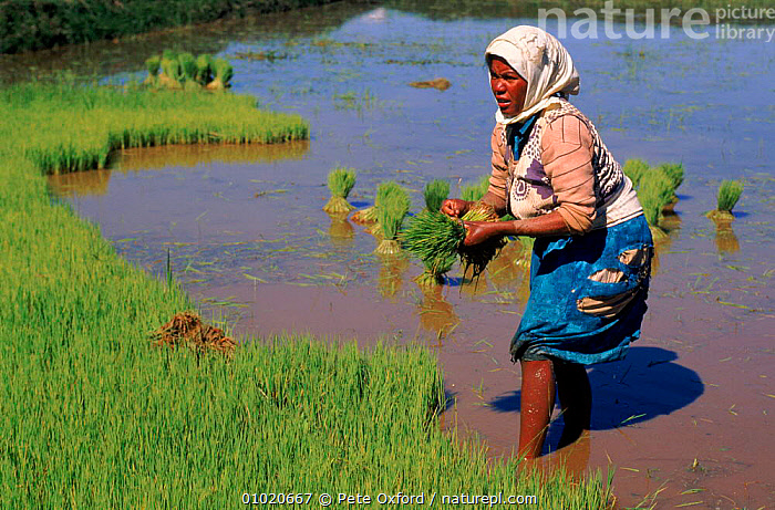 Rice paddy worker in Madagascar, Antananarivo., AGRICULTURE,ANTANANARIVO,CROPS,GREEN,HORIZONTAL,INTERESTING,PADDY,PEOPLE,PLANTS,PO,RICE,WATER,WOMAN,MADAGASCAR, Pete Oxford