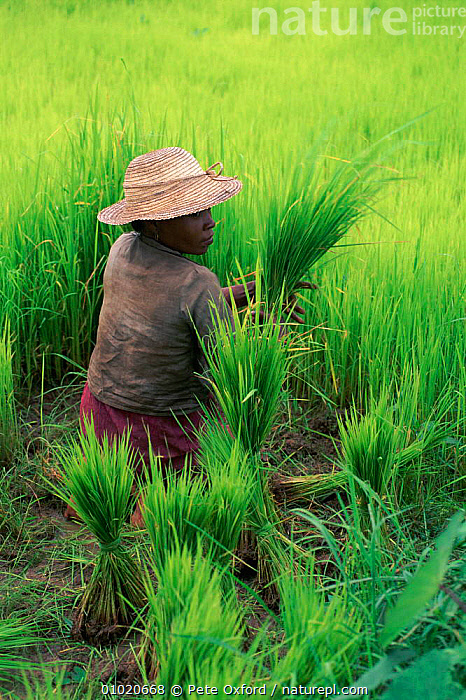 Rice paddy worker in Madagascar., PO,RICE,PLANTING,VERTICAL,WETLANDS,CROPS,GREEN,AGRICULTURE,EDIBLE,PADDY,PLANTS,TRADITIONAL,WORKER,PEOPLE,MADAGASCAR, Pete Oxford