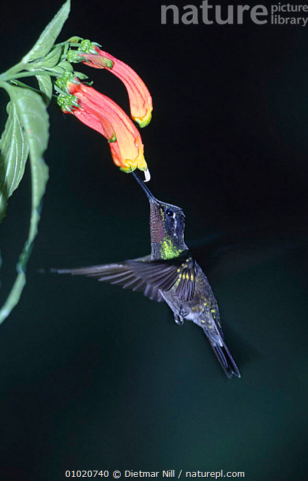 Purple throated mountain gem hummingbird feeding, Costa Rica (Lampornis calolaema), BIRDS,CENTRAL AMERICA,FLOWERS,ACTION,HOVERING,FLYING,HUMMINGBIRDS,PLANTS, Dietmar Nill