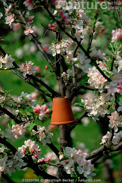 Hanging pot in Apple tree {Malus sylvestris} for insects to nest in. Germany Malus sylvestris, SPRING,VERTICAL,EUROPE,INSECTS,CBE,NEST,FLOWERS,TREES,HOMES,INTERESTING,GERMANY,PLANTS,INVERTEBRATES, Christoph Becker