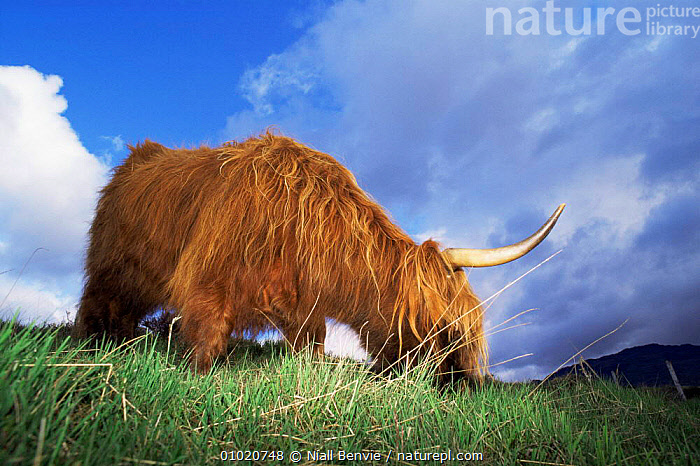 Highland cattle (Bos taurus) feeding in field, Argyll, Scotland, ARTIODACTYLA,BOVIDS,CATTLE,Domestic,EUROPE,HORNS,LIVESTOCK,MAMMALS,SCOTLAND,UK,VERTEBRATES,United Kingdom,British, Niall Benvie