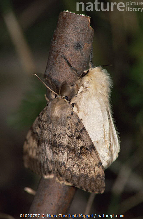Male and female Gypsy moths (Lymantria dispar) on twig, Germany, EUROPE,GERMANY,INSECTS,INVERTEBRATES,LEPIDOPTERA,MALE FEMALE PAIR,MATING BEHAVIOUR,MOTHS,NOCTUID MOTHS,PORTRAITS,VERTICAL,Reproduction, Hans Christoph Kappel