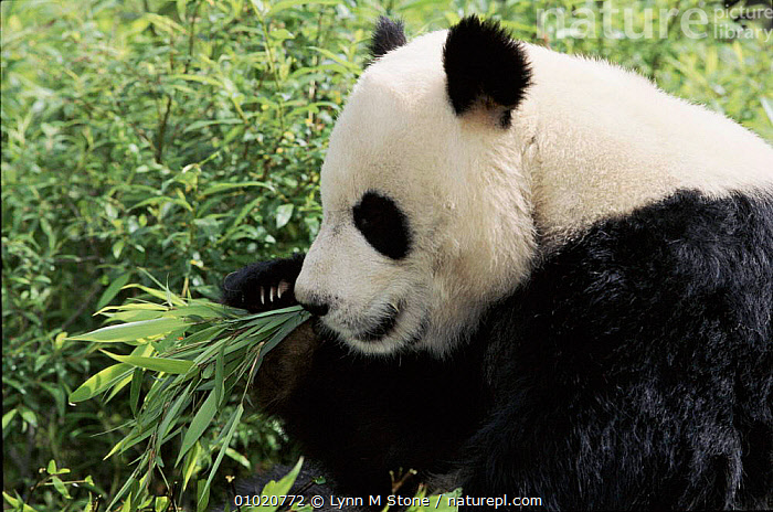 Giant Panda eating bamboo, Wolong Nature Reserve, Sichuan, China. Captive., CHINA,PLANTS,FEEDING,HORIZONTAL,PANDA,SICHUAN,WHITE,BAMBOO,PORTRAITS,MAMMALS,VULNERABLE,ENDANGERED,LS,BLACK,RESERVE,WOLONG,ASIA, Lynn M Stone