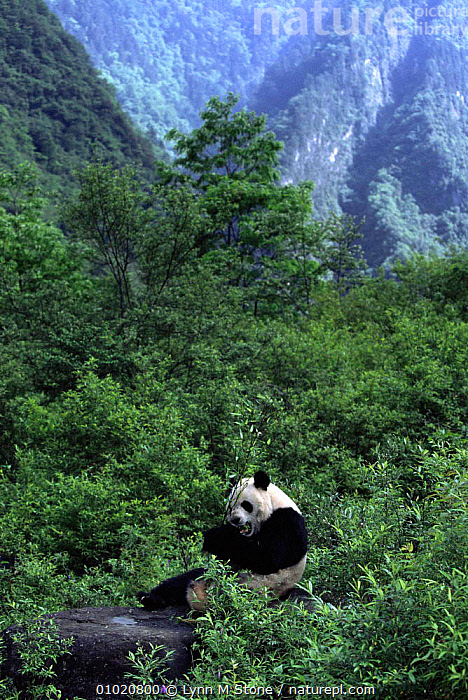 Giant Panda, Wolong Nature Reserve, Sichuan, China (Ailuropoda melanoleuca) Captive., ASIA,CARNIVORES,CHINA,FEEDING,HABITAT,LANDSCAPES,MAMMALS,ONE,PLANTS,RESERVE,Catalogue1, Lynn M Stone