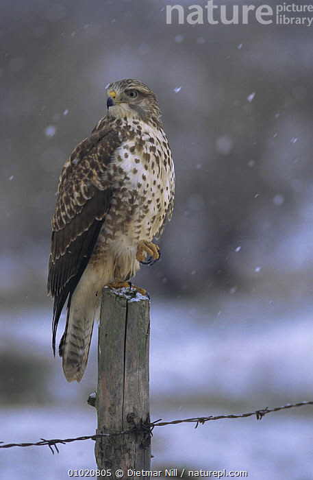 Buzzard (Buteo buteo) perched on fence post in the snow, Germany, BIRDS,BIRDS OF PREY,EUROPE,GERMANY,HAWKS,PORTRAITS,SNOW,VERTEBRATES,VERTICAL,WINTER, Dietmar Nill