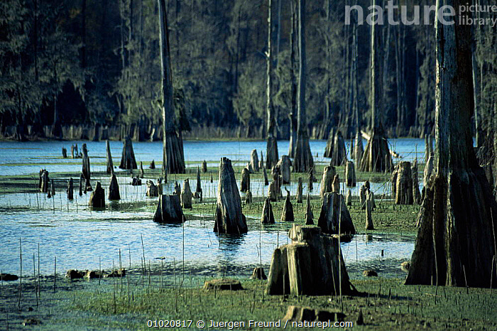 Stumps and root knees of swamp Bald cypress trees (Taxodium distinchum), Florida Panhandle, USA, HABITAT,LANDSCAPES,NORTH AMERICA,ROOTS,SWAMPS,TREES,USA,WATER,WETLANDS,Plants, Jurgen Freund
