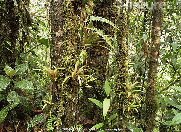 Bromelaids in the cloud forest at 1,500m, Western Ecuador, BROMELIADS,CLOUDFOREST,CLOUD FOREST,EPIPHYTES,LANDSCAPES,PLANTS,SOUTH AMERICA,TROPICAL RAINFOREST, MORLEY READ