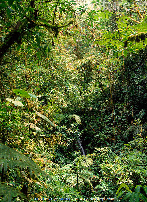 Cloud forest at 1,800m altitude. North West Ecuador., AMERICA,CLOUD FOREST,EPIPHYTES,MR,PLANTS,SOUTH,SOUTH AMERICA,VERTICAL, MORLEY READ