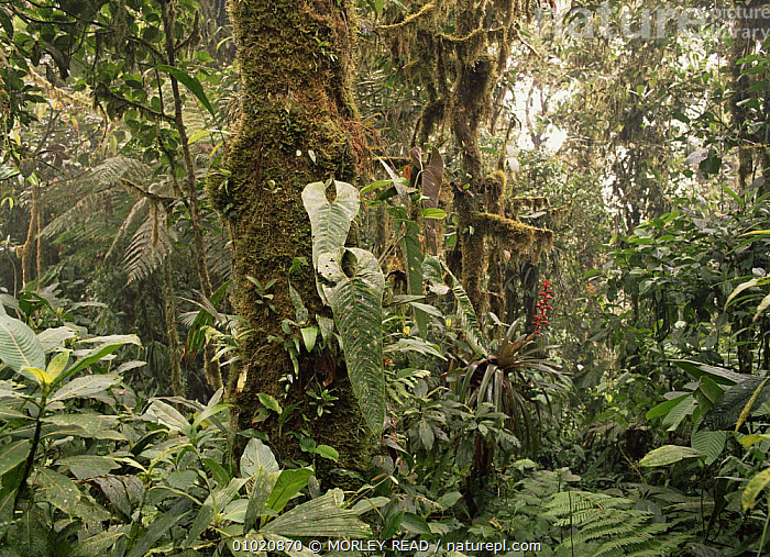 Cloud forest at 1,800m altitude. North West Ecuador., CLOUD FOREST,PLANTS,SOUTH AMERICA,TROPICAL RAINFOREST,UNDERSTOREY , understory, MORLEY READ