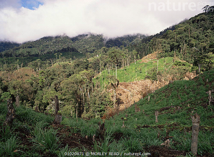 Clearing made in cloud forest by colonists for cattle, 1,800m altitude, North West Ecuador, AGRICULTURE,CATTLE,CLOUD FOREST,DEFORESTATION,LANDSCAPES,LIVESTOCK,SOUTH AMERICA, MORLEY READ