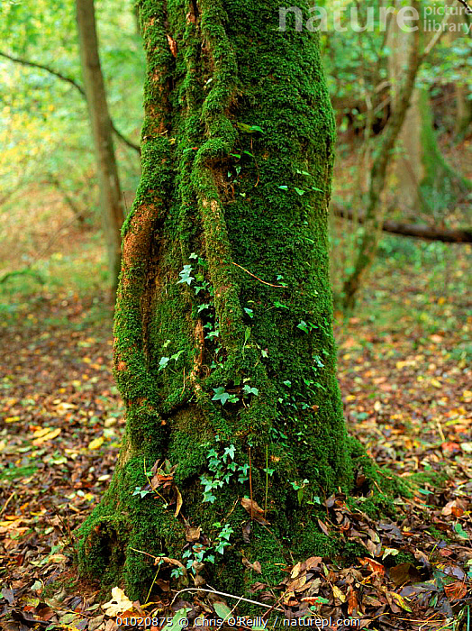 Ivy (Hedera helix) growing up a moss covered tree. Pwll-Y-Wrach reserve, Talgarth, Wales UK., COR,AUTUMN,PWLL Y WRACH,MIXED WOOD,MOSS,VERTICAL,EUROPE,TRUNKS,TREE,WALES,PLANTS,RESERVE,TALGARTH, Chris O'Reilly