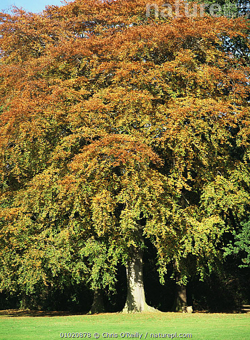 Beech tree (Fagus sylvatica) in October, Derbyshire UK, AUTUMN,DICOTYLEDONS,ENGLAND,EUROPE,FAGACEAE,PLANTS,TREES,UK,VERTICAL,United Kingdom,British, Chris O'Reilly