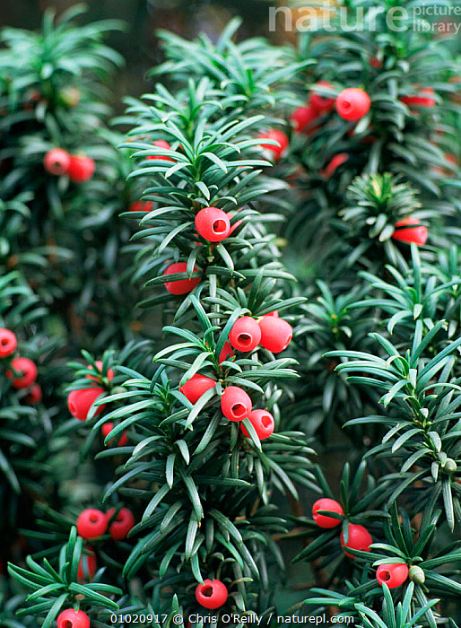 Close up of Yew tree berries (Taxus baccata) UK, AUTUMN,CONIFERS,ENGLAND,FRUIT,GYMNOSPERMS,MIXED WOOD,PLANTS,TAXACEAE,TREES,UK,Europe,United Kingdom,British, Chris O'Reilly