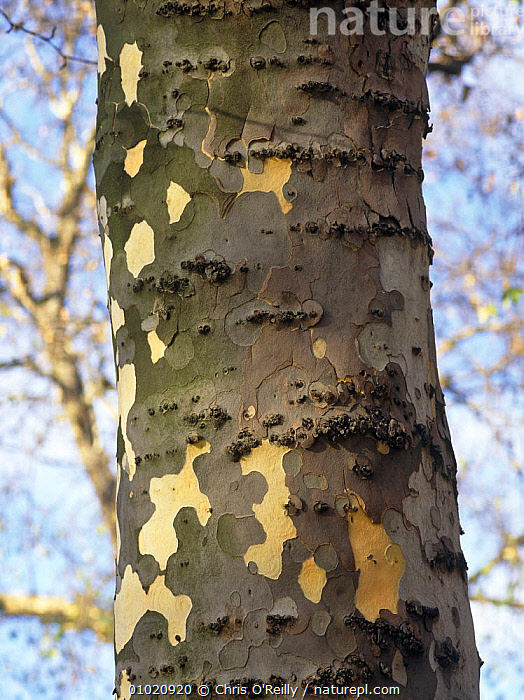 Close up of bark of London plane tree (Platanus X hispanica) UK, CLOSE UPS,DICOTYLEDONS,PLANTS,PLATANACEAE,TREES,TRUNKS,URBAN,VERTICAL,WINTER, Chris O'Reilly