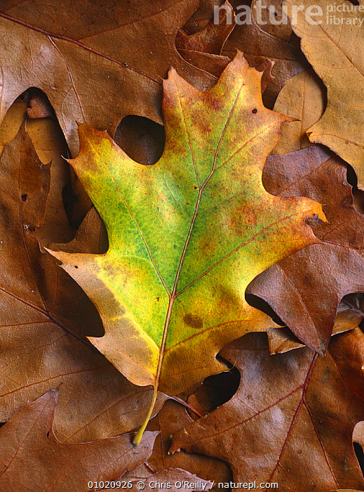 Red oak (Quercus rubra) leaf showing autumn colours. UK, ARTY,AUTUMN,DICOTYLEDONS,FAGACEAE,LEAVES,MIXED WOOD,PLANTS,VERTICAL, Chris O'Reilly