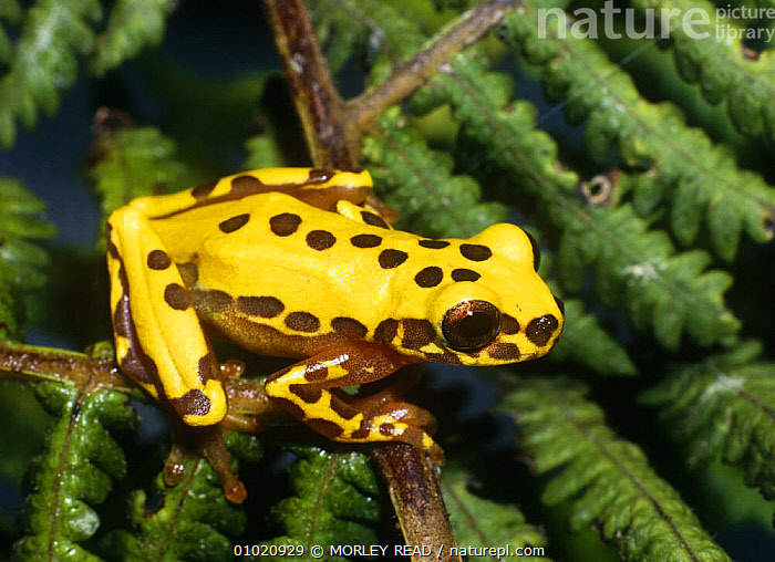 Tree frog {Hyla triangulum} on branches, South America, AMPHIBIANS, Anura, FROGS, PORTRAITS, SOUTH-AMERICA, TREE-FROGS, TROPICAL-RAINFOREST, VERTEBRATES, YELLOW, MORLEY READ