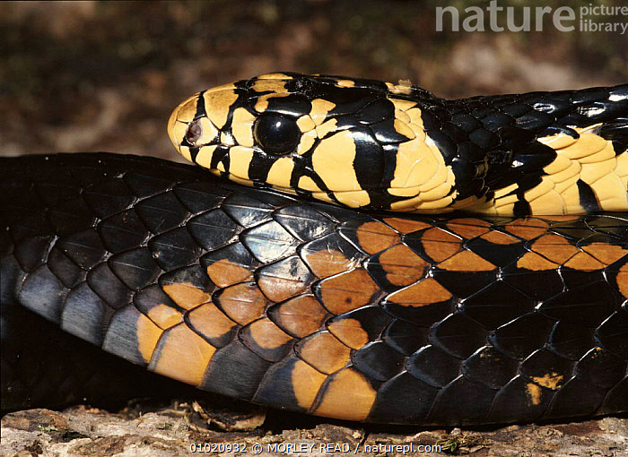 Black and yellow rat snake head, Ecuador, CLOSE UPS,ECUADOR,HEADS,HORIZONTAL,MR,REPTILES,SNAKES,SOUTH AMERICA,TROPICAL RAINFOREST, MORLEY READ