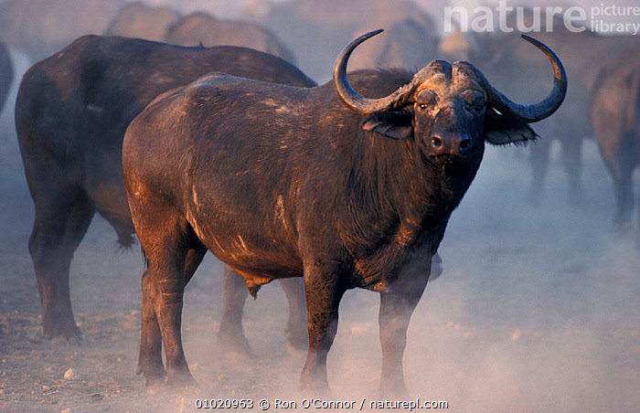Male African buffalo in dust (Syncerus caffer) Kruger NP South Africa, AMID,BUFFALOS,HORNS,MALES,MAMMALS,PORTRAITS,SOUTHERN AFRICA,CATTLE, Ron O'Connor