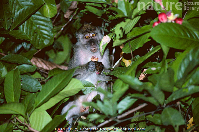 Crab eating / Long tailed macaque (Macaca fascicularis) eating fruit, Sabah, Malaysia, FEEDING,FRUIT,LEAVES,MACAQUES,MAMMALS,MONKEYS,PLANTS,PRIMATES,SOUTH EAST ASIA,TROPICAL RAINFOREST,VERTEBRATES,Asia, Georgette Douwma