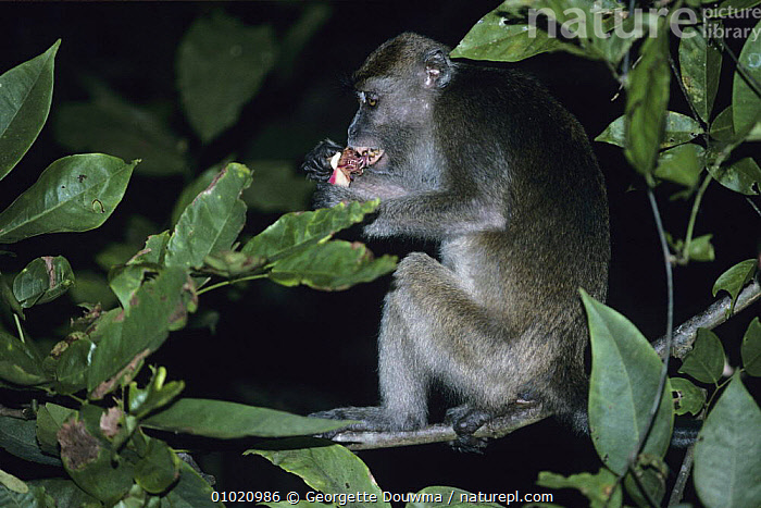 Crab eating / Long tailed macaque {Macaca fascicularis} feeding on fruit in tree canopy at night, Sabah, Malaysia, ASIA,BEHAVIOUR,FEEDING,MACAQUES,MAMMALS,MONKEYS,NIGHT,PRIMATES,TROPICAL RAINFOREST,VERTEBRATES, Georgette Douwma