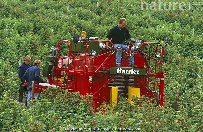 Mechanised raspberry harvesting with Pattenden Harrier, Scotland, AGRICULTURE,CROPS,DICOTYLEDONS,EDIBLE,FRUIT,HARVESTING,MACHINERY,PEOPLE,PLANTS,SCOTLAND,UK,VEHICLES,Europe,United Kingdom,British, Niall Benvie