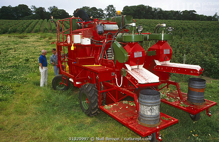 Mechanised raspberry harvesting with Pattenden Harrier, Scotland, AGRICULTURE,CROPS,DICOTYLEDONS,HARVESTING,MACHINERY,PEOPLE,PLANTS,SCOTLAND,UK,VEHICLES,Europe,United Kingdom,British, Niall Benvie