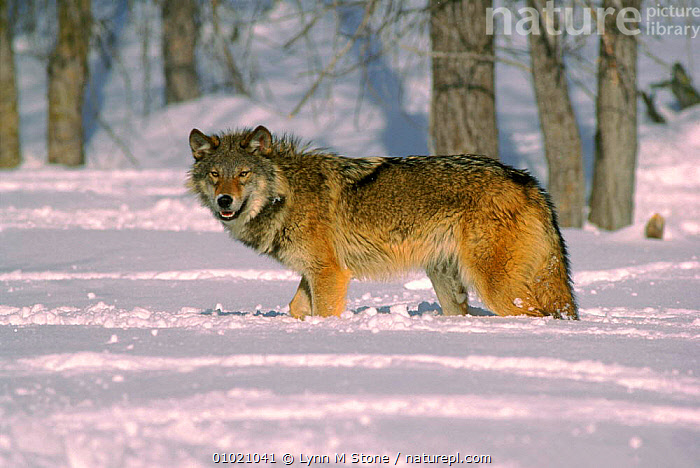 Grey wolf (Canis lupus) walking in snow, USA C, MAMMALS,AMERICA,CAPTIVE,HORIZONTAL,WOLVES,C,CANINE,LS,USA,SNOW,NORTH AMERICA,DOGS,CANIDS, Lynn M Stone