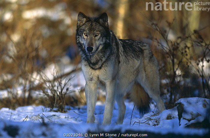 Grey wolf {Canis lupus} portrait standing in snow, captive, USA, CANIDS,CARNIVORES,MAMMALS,NORTH AMERICA,PORTRAITS,SNOW,USA,VERTEBRATES,WINTER,WOLVES,Dogs, Lynn M Stone