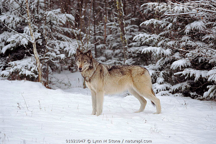 Portrait, Grey wolf standing in snow., CARNIVORES,HORIZONTAL,SNOW,CAPTIVE,USA,MAMMALS,LS*,WOODLANDS,PORTRAITS,NORTH AMERICA,DOGS,CANIDS, Lynn M Stone