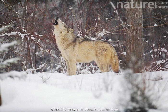 Portrait of grey wolf howling in the snow., SOCIAL BEHAVIOUR,HORIZONTAL,SNOW,TERRITORIAL,CARNIVORES,CAPTIVE,LS*,VOCALISATION,WINTER,USA,PORTRAITS,MAMMALS,WOODLANDS,NORTH AMERICA,DOGS,CANIDS, Lynn M Stone
