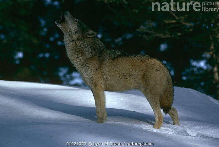 Grey wolf {Canis lupus} howling in the snow, captive, USA, CALLING,CANIDS,CARNIVORES,COMMUNICATION,MAMMALS,NORTH AMERICA,PROFILE,SNOW,SOCIAL BEHAVIOUR,TERRITORIAL,USA,VERTEBRATES,VOCALISATION,WINTER,WOLVES,Dogs, Lynn M Stone