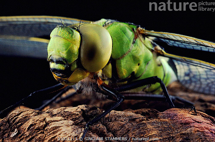 Close-up of Emperor dragonfly at rest, EYES,CLOSE UPS,HORIZONTAL,SS,HEADS,INSECTS,INVERTEBRATES,ODONATA, SINCLAIR STAMMERS