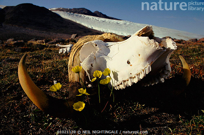Arctic poppies (Papaver radicatum) and musk ox skull. Ellesmere Island, Canada, CANADA,DICOTYLEDONS,ELLESMERE,FLOWERS,HORIZONTAL,HORNS,ISLAND,MAMMALS,MUSK,NORTH AMERICA,OX,PLANTS,SKULL,SNOW,TUNDRA, NEIL NIGHTINGALE