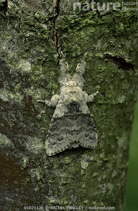 Pale tussock moth (Dasychira pudibunda) camouflaged against tree bark. Monkwood NR, near Worcester, England.  ,  BARK, CAMOUFLAGE, EUROPE, INSECTS, INVERTEBRATES, NOCTUID-MOTHS, UK, ENGLAND, LEPIDOPTERA, MOTHS, RESERVE, VERTICAL,Plants,United Kingdom  ,  RACHEL HINGLEY