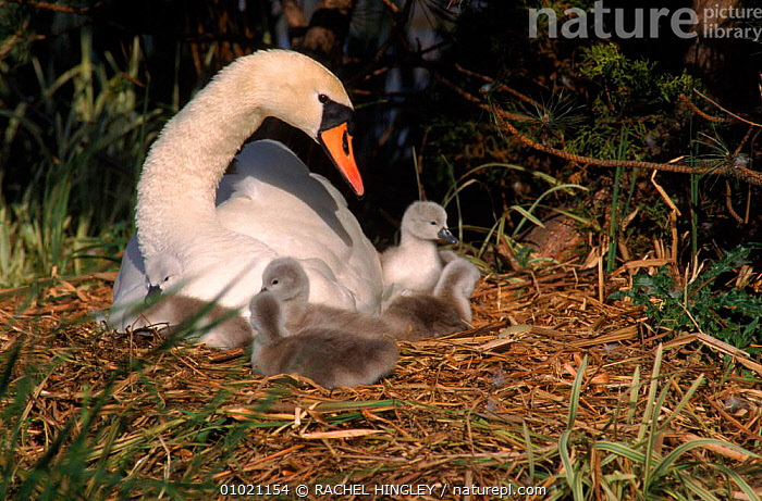 Mute swan with cygnets at nest, County Durham, UK, NESTS,RH,BIRDS,BABIES,WATERFOWL,CUTE,UK,ENGLAND,FAMILIES,HORIZONTAL,EUROPE,UNITED KINGDOM,BRITISH,WILDFOWL, Waterfowl, RACHEL HINGLEY