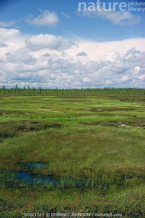 Summer in the tundra, Siberia, ASIA,BOGS,CIS,HABITAT,LANDSCAPES,MARSHES,RUSSIA,SUMMER,TUNDRA,VERTICAL,WETLANDS, DOMINIC JOHNSON